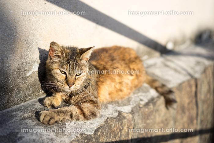 塀の上に寝そべるのら猫(日本・広島・尾道)の販売画像