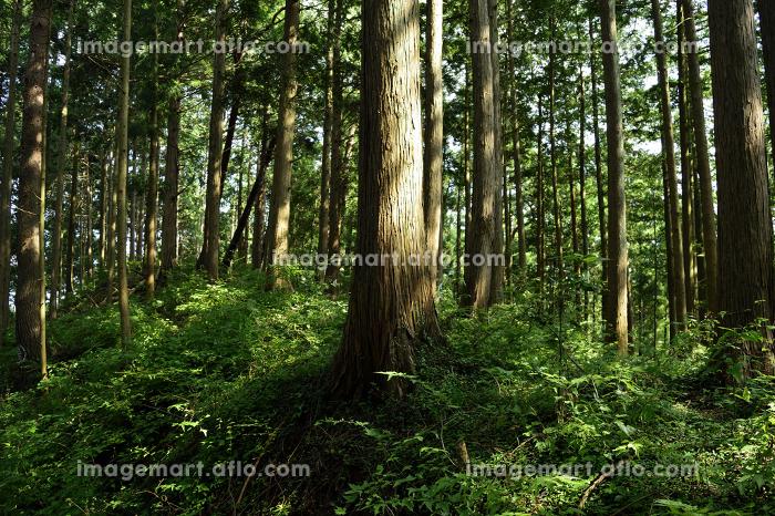 御岳山の登山路から眺める樹々(奥多摩・東京都)の販売画像