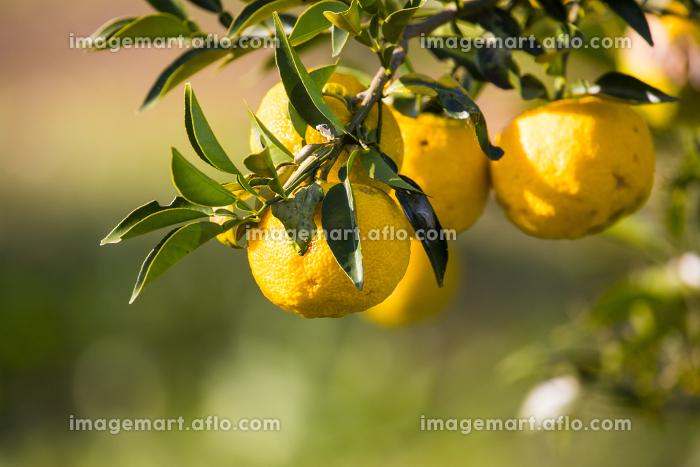 屋外で撮影した柚子の木とその実の販売画像