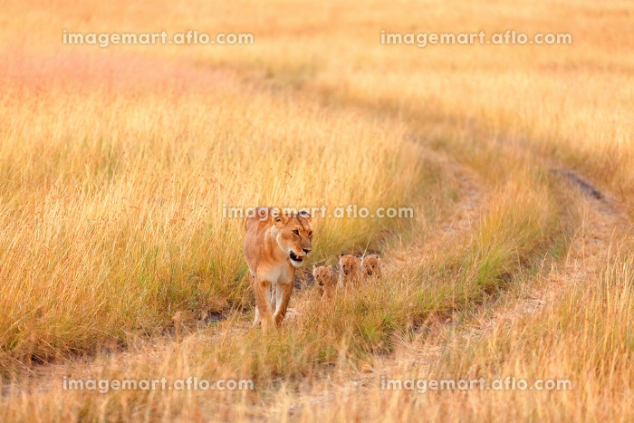 Female lion with cubs in Masai Mara,Female lion with cubs in Masai Maraの販売画像