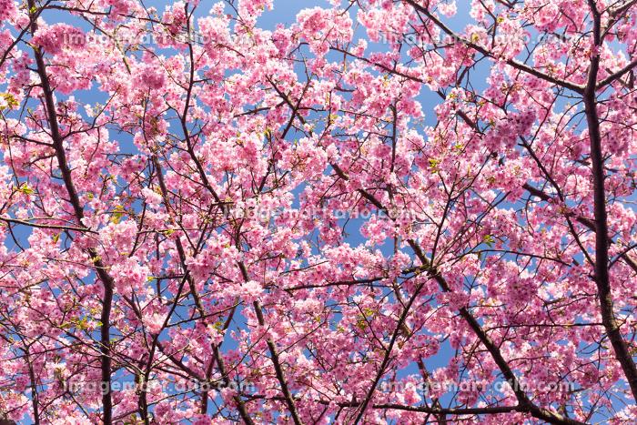 Sakura cherryの販売画像
