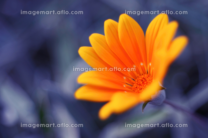 オレンジ色のガザニアの販売画像