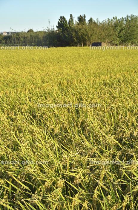 見沼田圃・収穫間近な稲田の販売画像