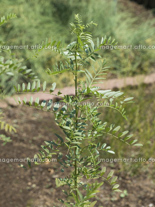 スペインカンゾウ 薬用植物