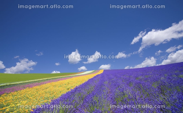 ラベンダー畑と雲の販売画像