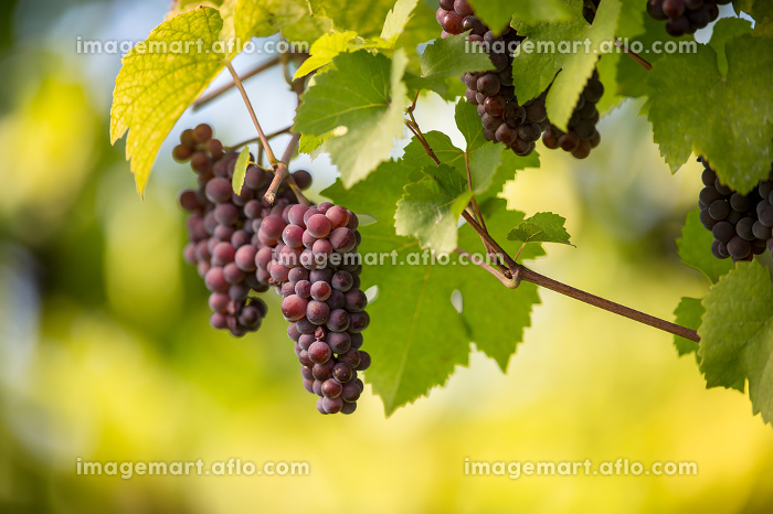 Red wine grapes in a vineyard right before the harvest (color toned image)の販売画像