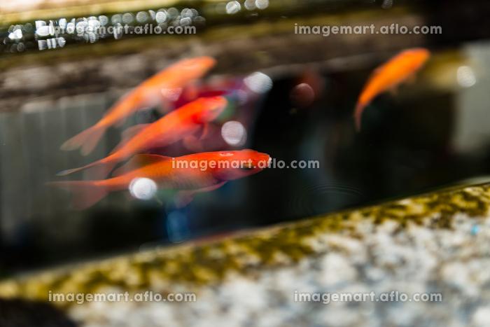 金魚の販売画像