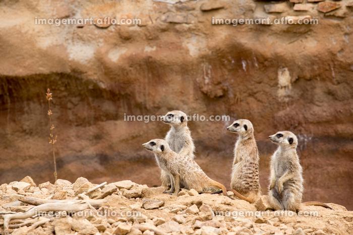 family of meerkat or suricateの販売画像