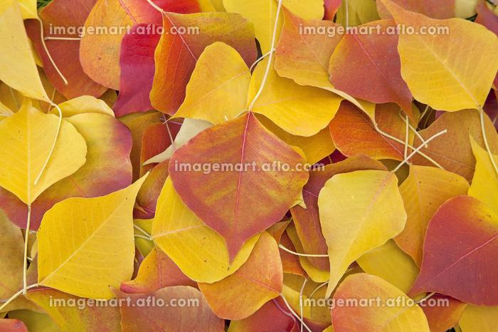 紅葉した落ち葉の販売画像