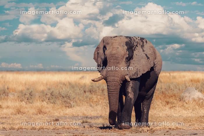 African Elephant, Botswana safari wildlifeの販売画像