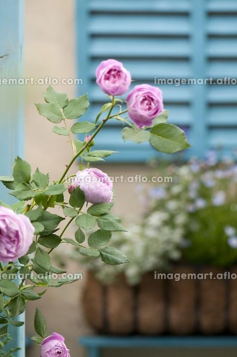 ピンクのバラが咲く庭