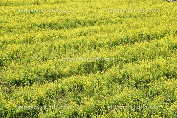 春の観光地・静岡県南伊豆の菜の花畑の販売画像