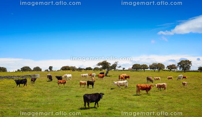 Salamanca grassland cows cattle in Dehesa of Spain by the via de la Plata way to santiago