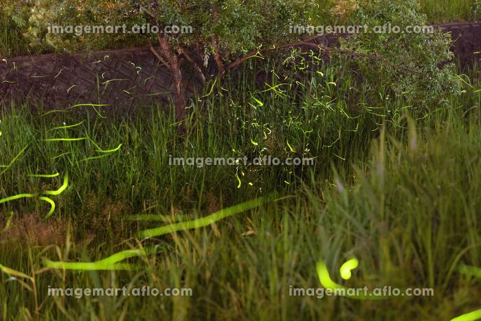 夏の夜川辺を飛び回るホタルの販売画像