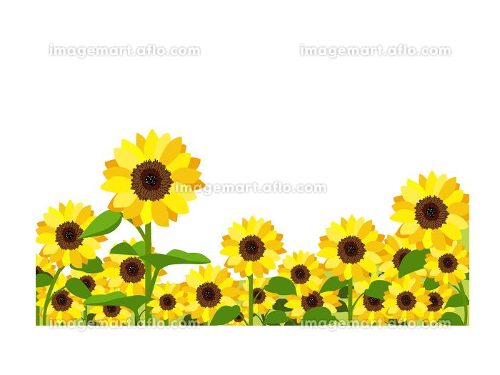 イラスト素材 ひまわり ヒマワリ 向日葵 畑 満開 ベクターの販売画像