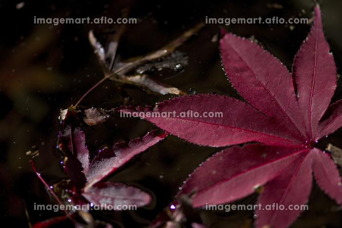 緑水庵の紅葉の販売画像