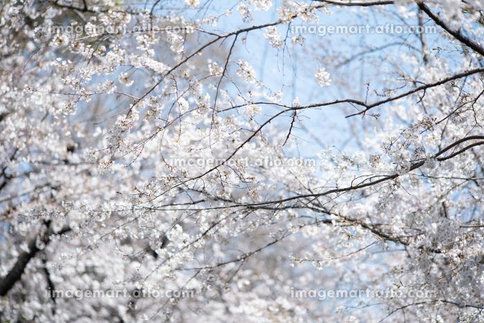 春の音無親水公園の桜 東京都北区王子の販売画像