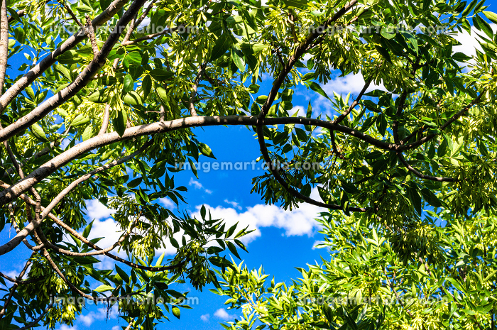 Leaves of trees and blue sky backgroundの販売画像