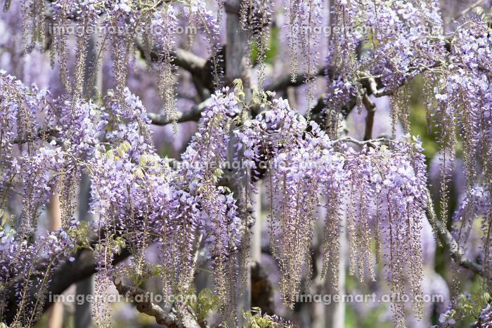 晴れの日と満開の藤の花 4月の販売画像