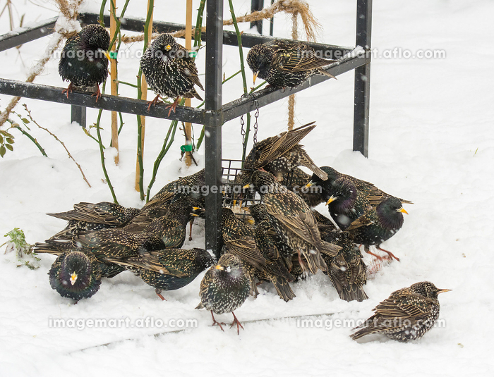 Swarm of starlings at a bird feeder