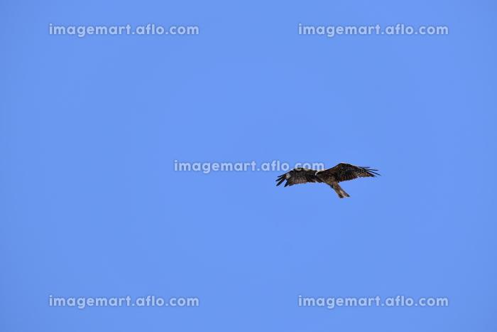 快晴の空を羽ばたくトンビの販売画像