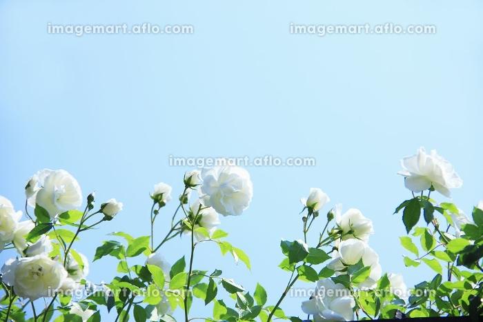 バラ、白の販売画像
