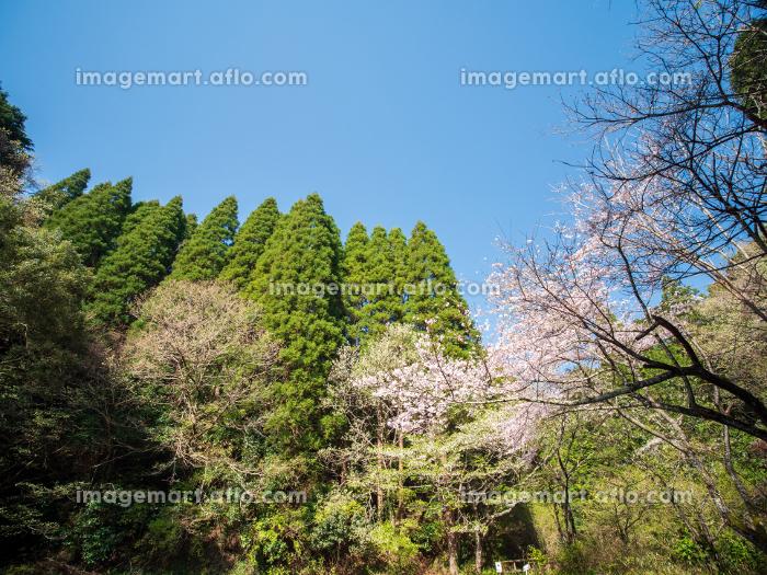 青空の里山の風景と桜 3月の販売画像