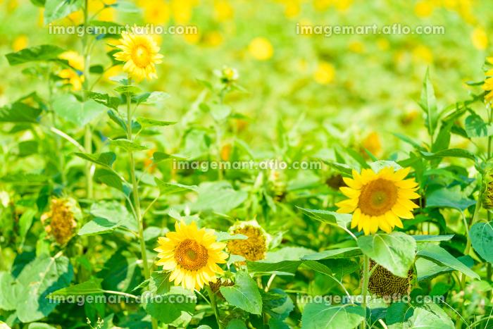 夏の綺麗な向日葵畑の販売画像