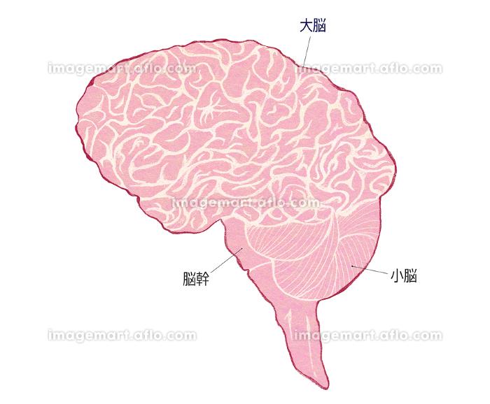脳の全体像の販売画像