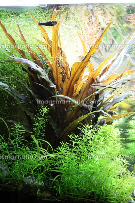 水槽内の水草の販売画像