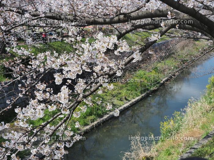 名古屋で有名な桜の名所 山崎川の桜並木(昼)の販売画像