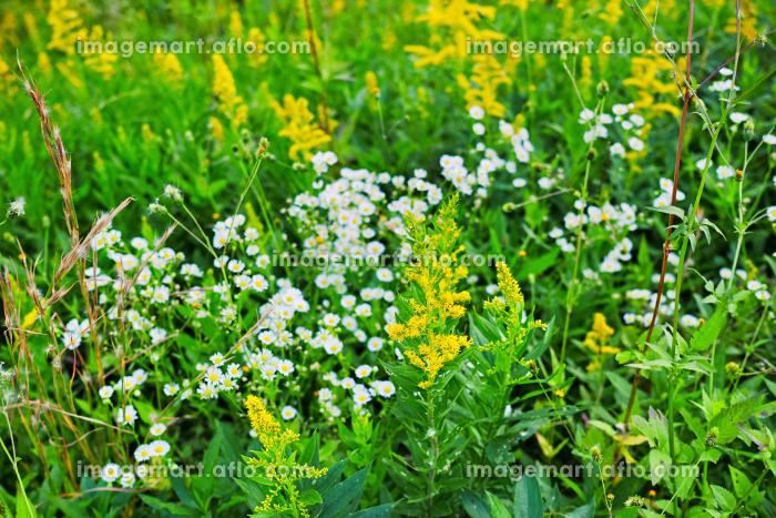 黄色や白い花が咲く草むらの販売画像