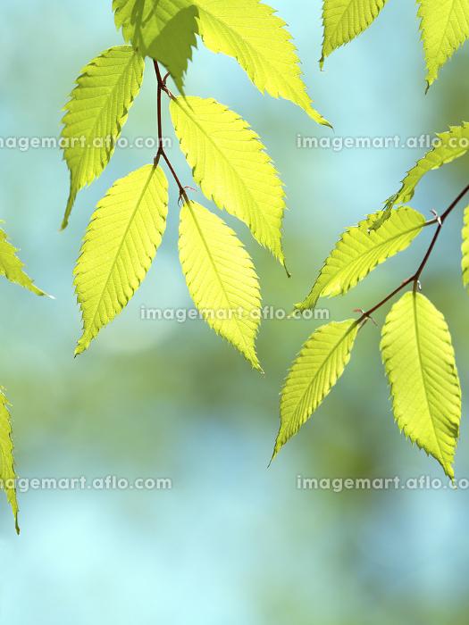 新緑のケヤキの葉の販売画像