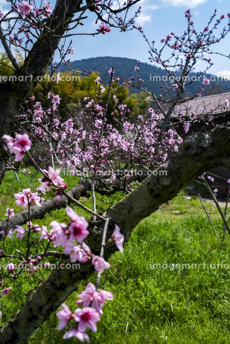 桃の花咲く山の辺の道の販売画像