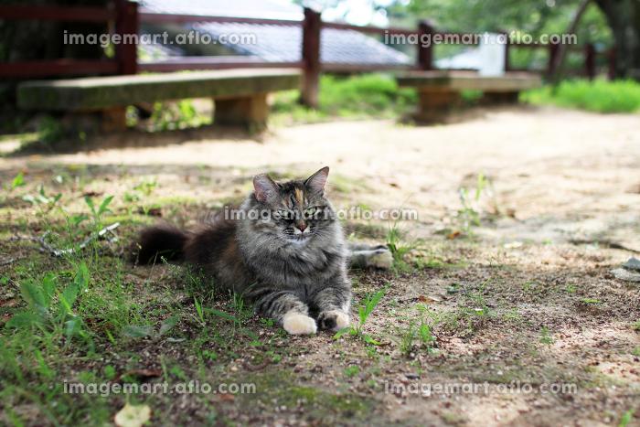 公園で涼む長毛種の猫の販売画像