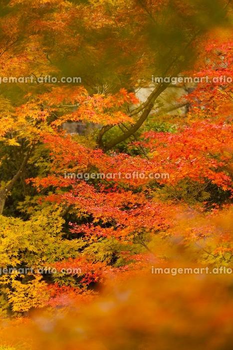 東福寺の紅葉の販売画像