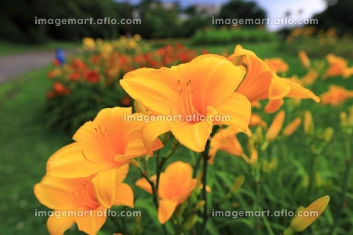 オレンジ色のユリの販売画像