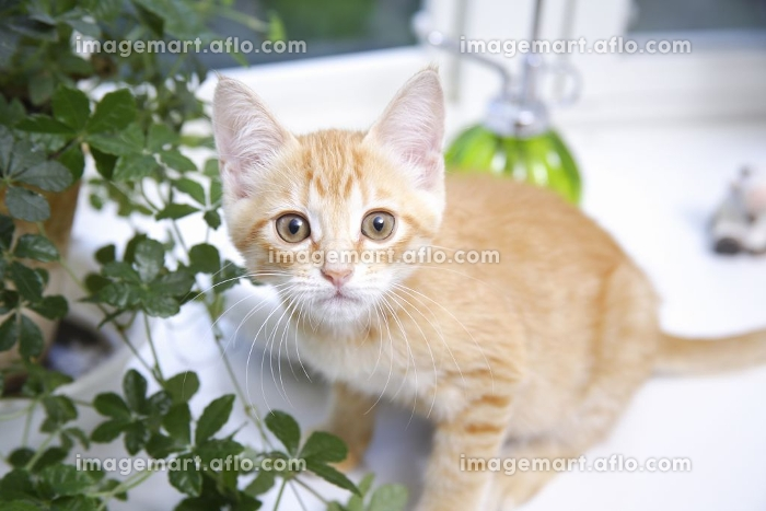 窓辺でカメラ目線の子猫