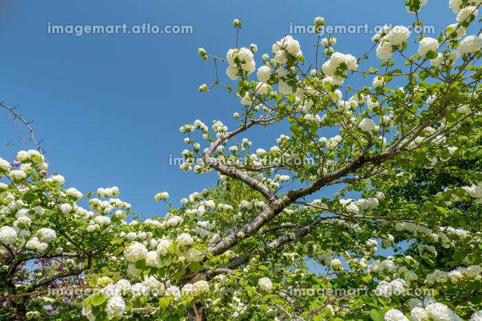 青空と白い手まり花 4月の販売画像