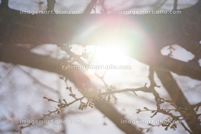 桜の枝から覗く光の販売画像