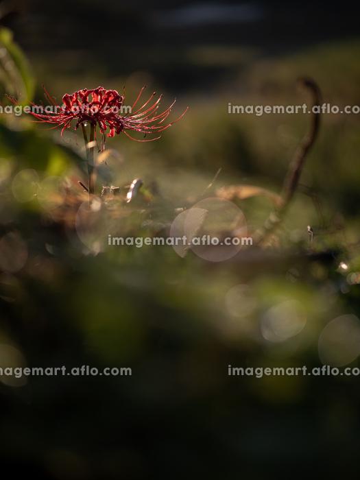 暗い森の中でそっと咲く曼珠沙華の花 9月の販売画像