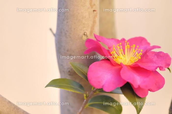 サザンカの花の販売画像