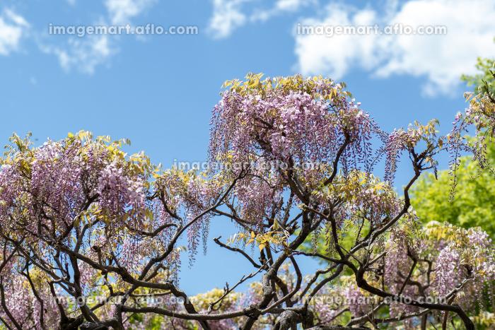 青空と満開の藤の花 4月の販売画像