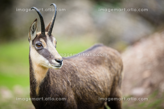 Chamois (Rupicapra rupicapra) within its natural habitat - high mountainsの販売画像