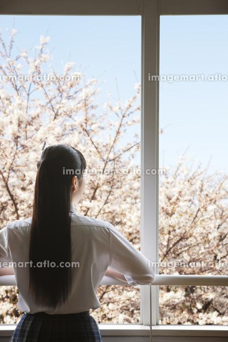 教室の窓から桜を眺める女子高生の販売画像