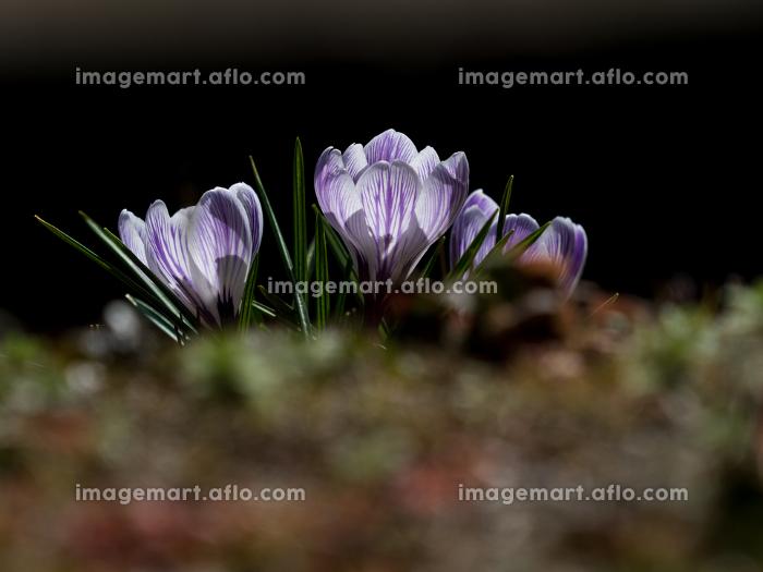 春の里山に咲くクロッカスの花 3月の販売画像