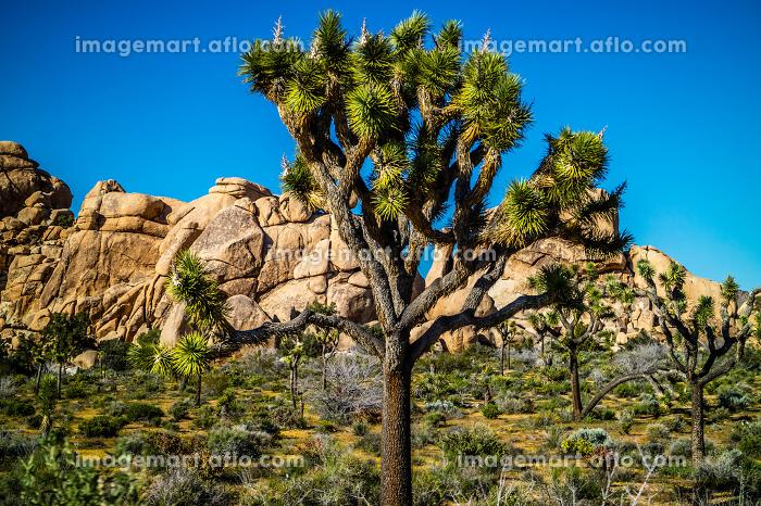 Joshua Trees in Joshua Tree National Park, Californiaの販売画像
