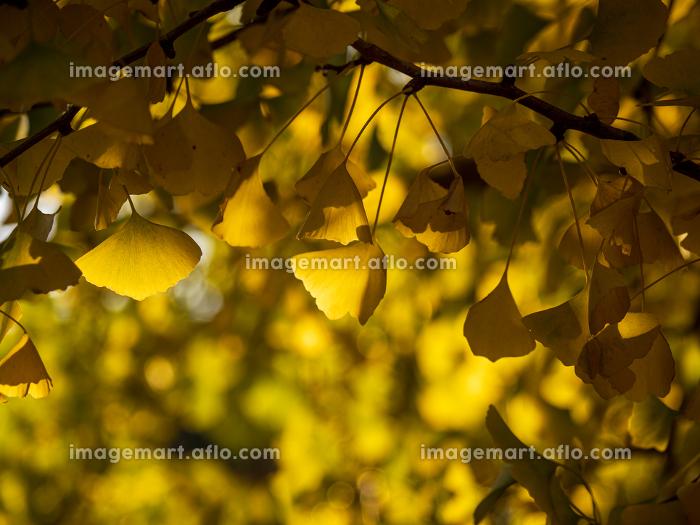 黄葉した銀杏の葉の販売画像