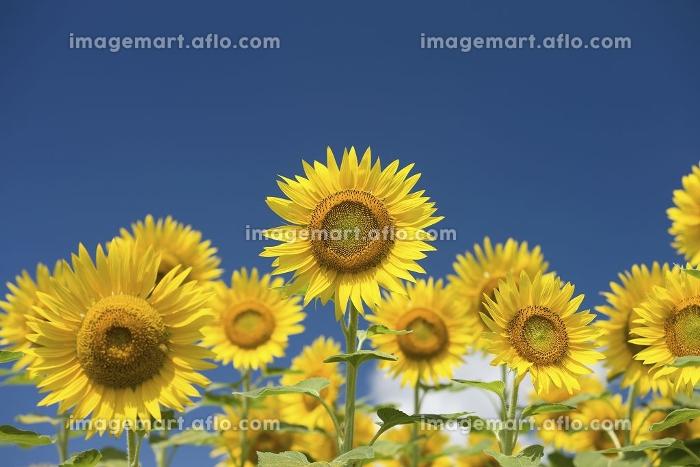 夏空とヒマワリ畑の販売画像