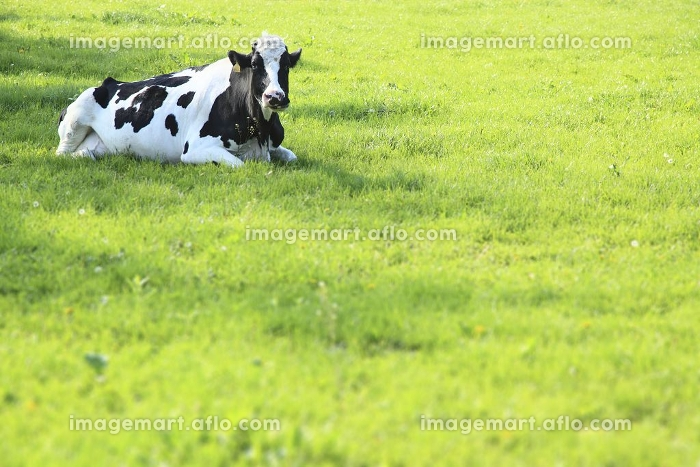 放牧地の乳牛